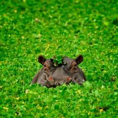 Hippo in a Bonnet