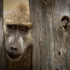 Baboon in Fence