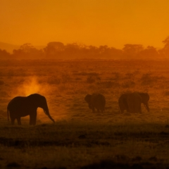Elephant Dusting in Golden Light