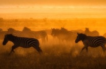 Dawn of the Zebras