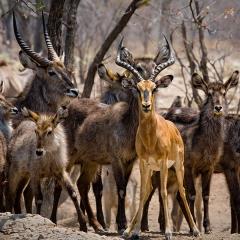 Antelope on High Alert