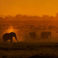 Elephant Dusting in Golden Light