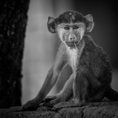 Young Baboon in Monochrome